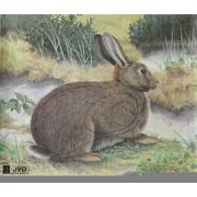 Jvd królik